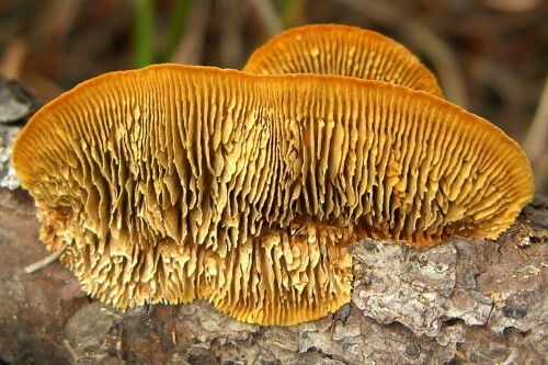 Rusty-Gilled_Polypore_(994481500)